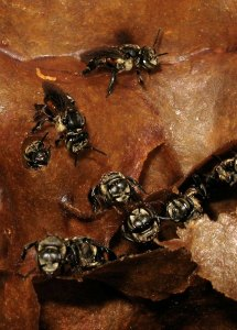 Inside a stingless bee nest by D.J. Martins