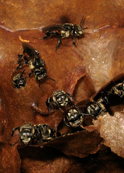 Inside a stingless bee nest by D.J. Martins