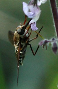 Tabanid fly on Orthonsiphon sp. by D. J. Martins