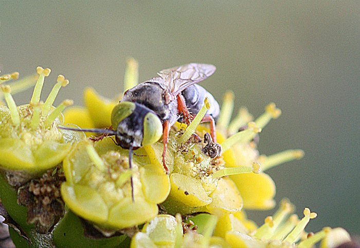Spechid tachysphex wasp on euphorbia flowers by D. J. Martins
