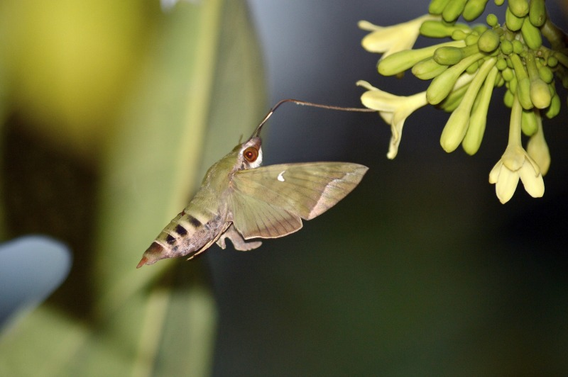 Hawkmoths are the main pollinators of papaya by D. J. Martins