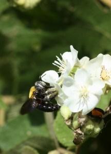 Carpenter bee on flowering Sterculiaceae by D. J. Martins