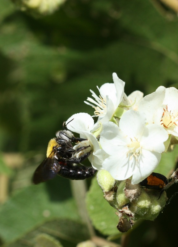 Carpenter bee on flowering Sterculiaceae by D. J. Martins