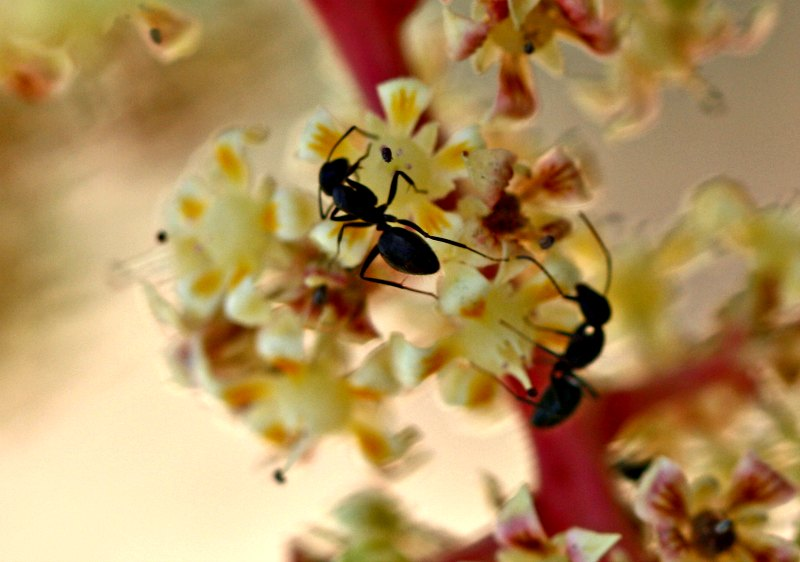 Camponotus ants on mango flowers by D. J. Martins