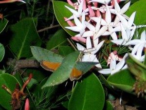 Small verdant hawkmoth, Basiothia medea visits a flowering Carissa by D. J. Martins