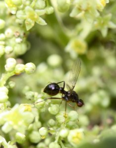 Black scavenger fly (Sepsidae) on Rhus flowers by D. J. Martins