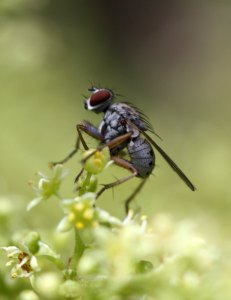Tachnid fly on Rhus by D. J. Martins