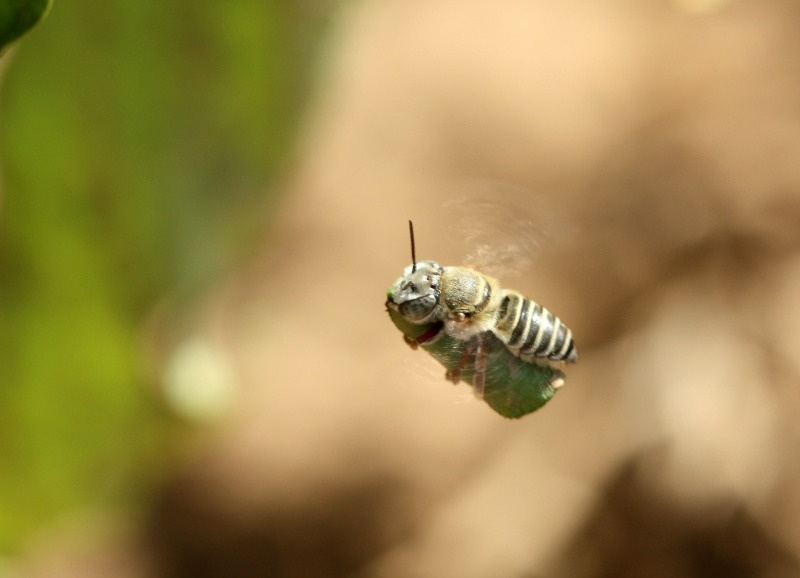 Leafcutter bee carrying leaf to nest by D. J. Martins