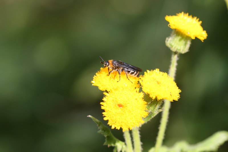 Mammoth wasp by D. J. Martins