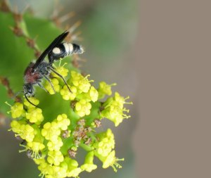 Male velvet wasp on euphorbia by D. J. Martins