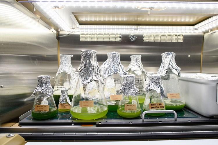 Flasks of algae