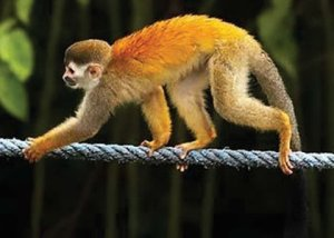 Squirrel Monkey on rope bridge