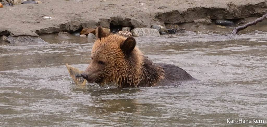 Wet Grizzly in muddy river eating a fish in the Orford Valley_