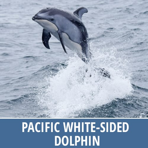 Discovery Marine Safaris - Pacific White Sided Dolphin
