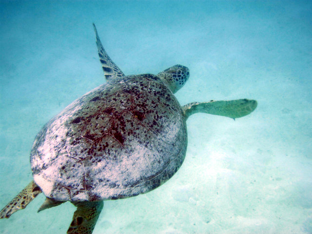turtles around derawan