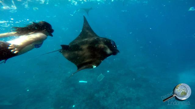 swim with manta rays in nusa penida