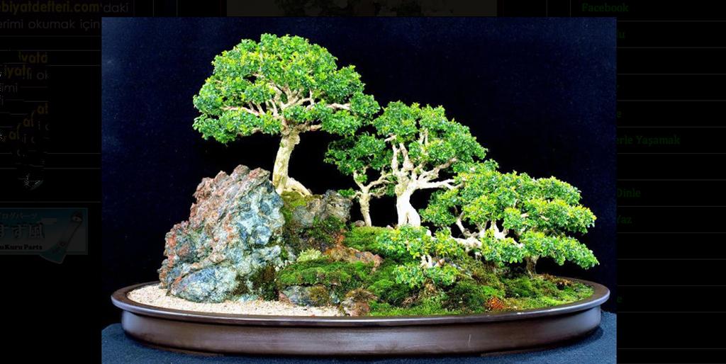 bonsai-montano