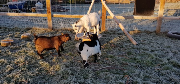 Keeping goats in a school!