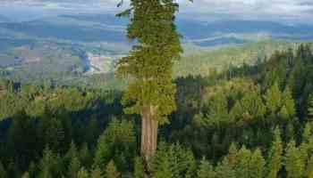 Hyperion: The world's tallest living tree
