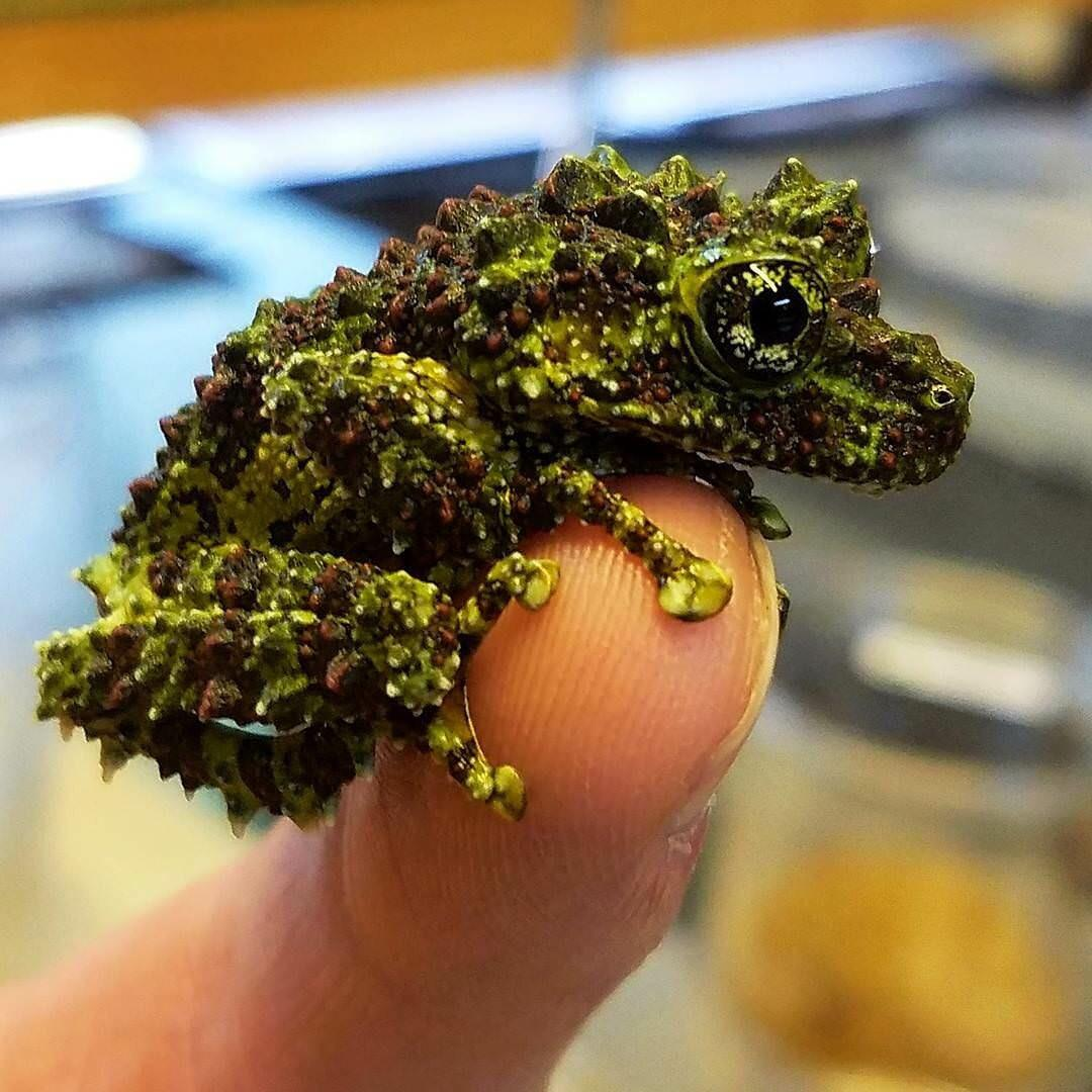 Vietnamese Mossy Tree Frog