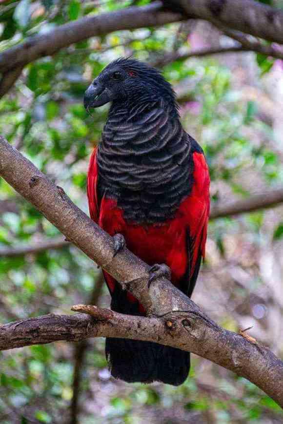 Meet the Dracula Parrot
