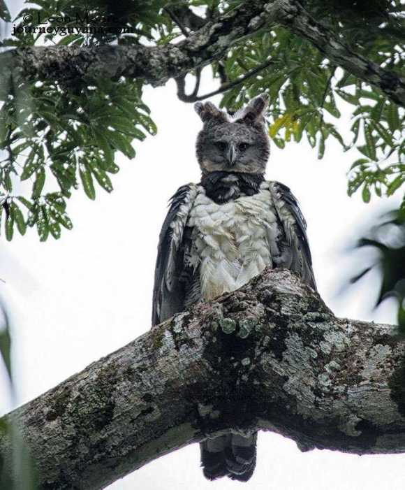 The Harpy eagle looks like a human in a costume