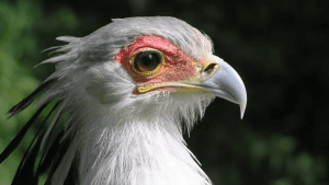 Gorgeous eyelashes of the Secretarybird