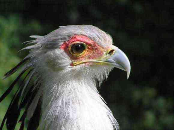 Gorgeous eyelashes of the Secretarybird