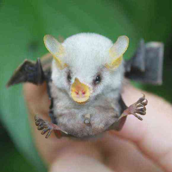 How the Honduran white bat converts large leaves into tents