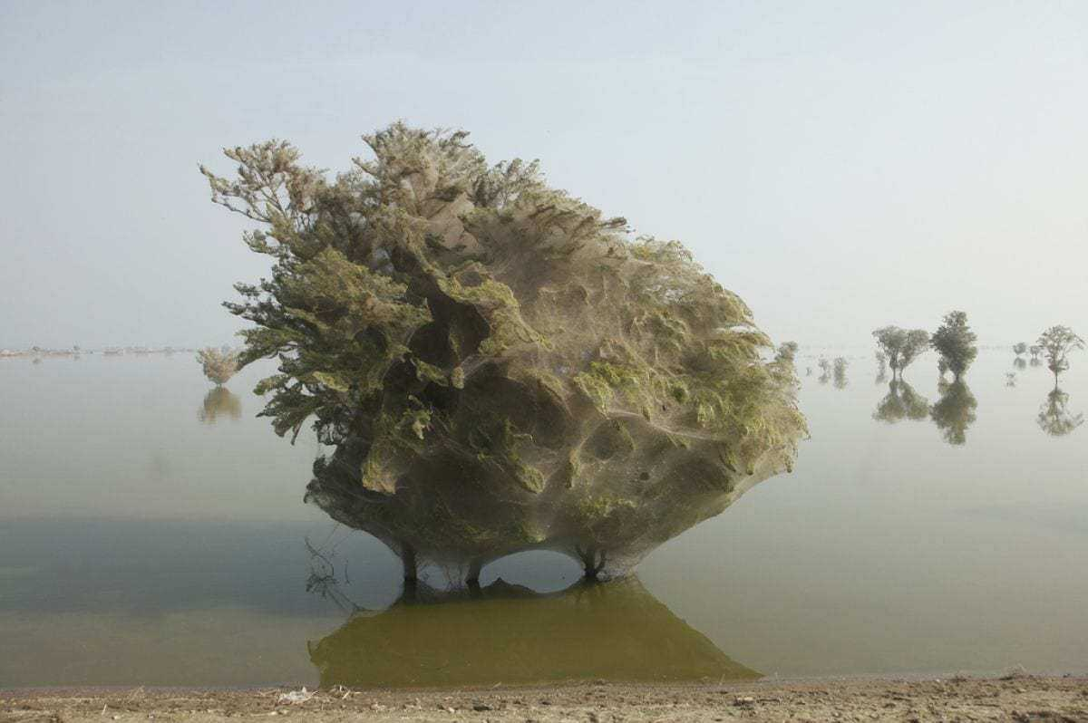 Spiderweb-engulfed trees in Pakistan after a great flood