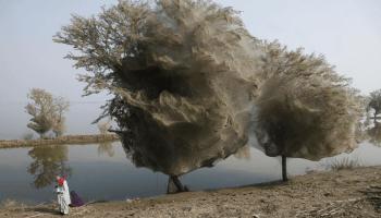 Spiderweb engulfedtreesinPakistanafteragreatflood