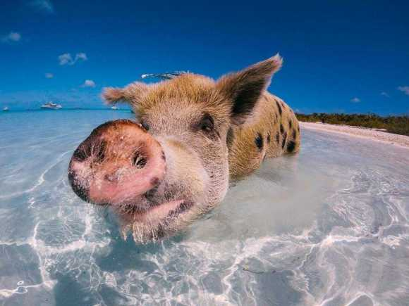 Swim with wild pigs in the Bahamas