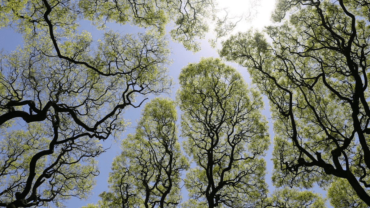 Crown shyness: Nature's way of social distancing