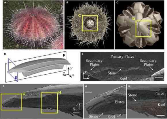 pink sea urchin teeth