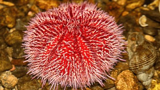 Pink sea urchins have self-sharpening teeth
