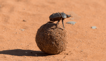 the african dung beetle navigates earth using the stars