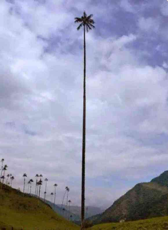 Colombia is home to the tallest palm tree in the world, the palma de cera