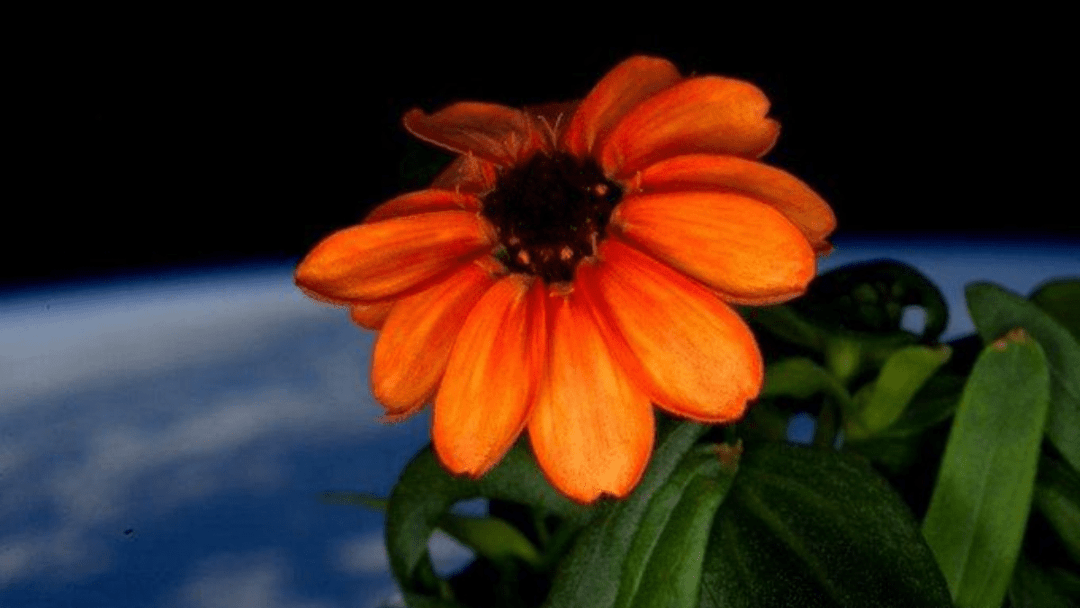 Meet the first flower grown entirely in space, a zinnia flower