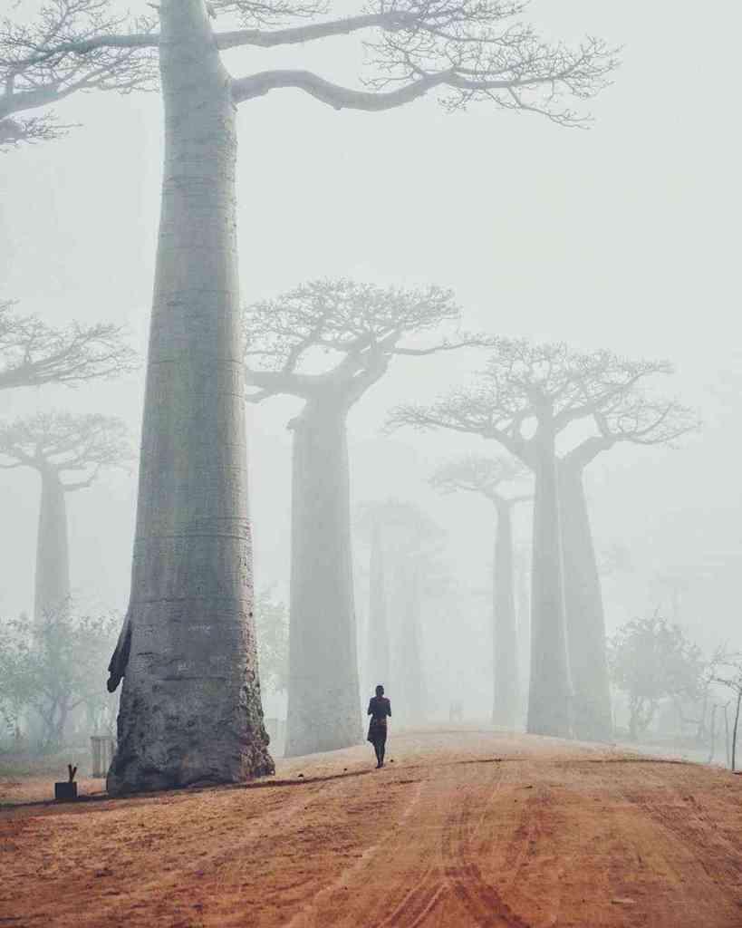 The beauty of Madagascar's giant Baobab trees