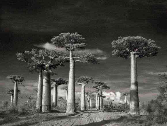 The beauty of Madagascar's giant Baobab trees