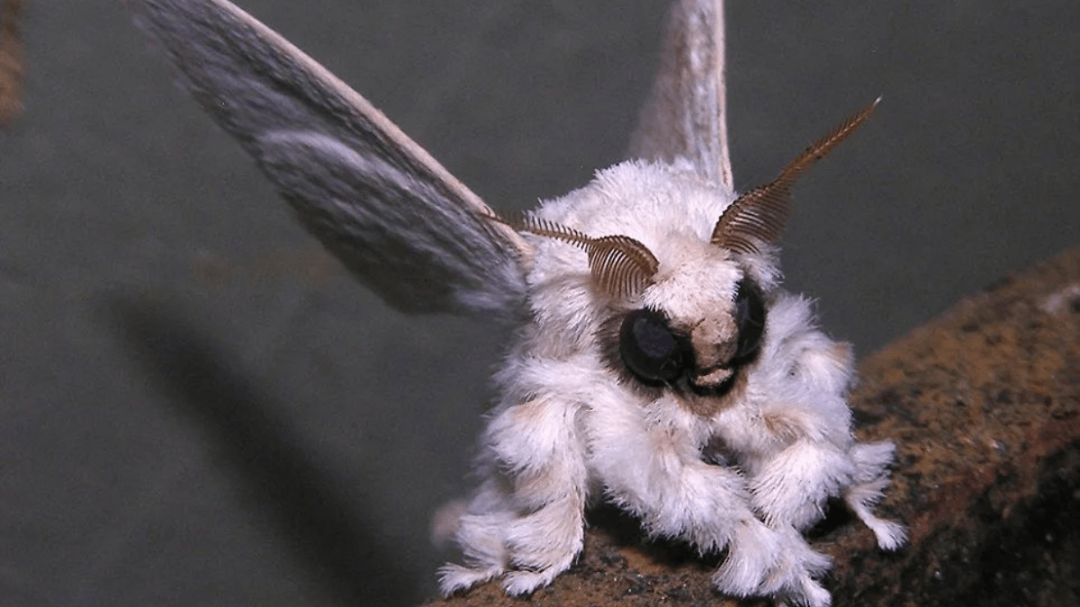 The cute and scary Venezuelan Poodle Moth