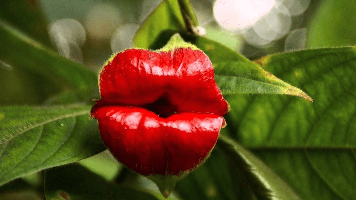 'Hooker's Lips': The world's most kissable flower