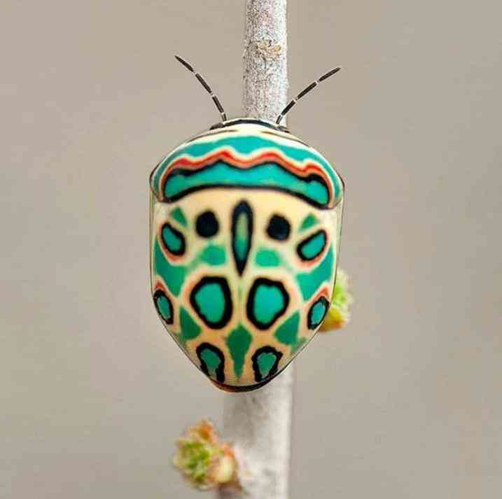 The Picasso bug, where art and nature collide