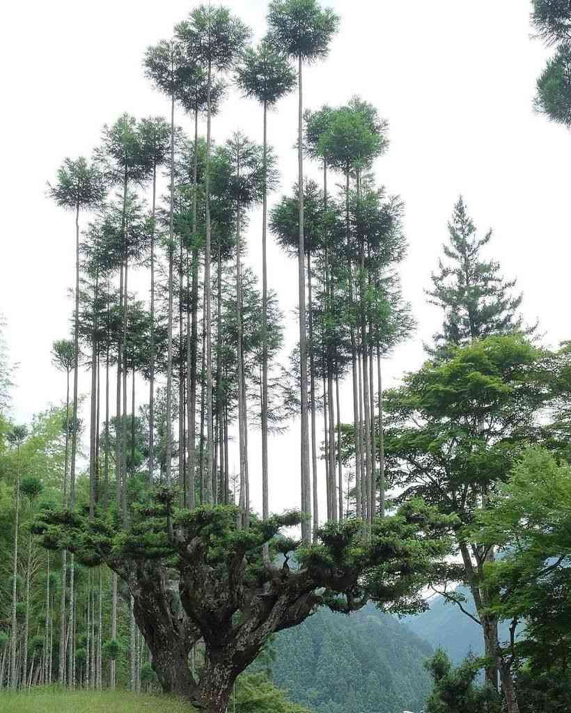 Daisugi:  Ancient Japanese technique for growing trees out of trees