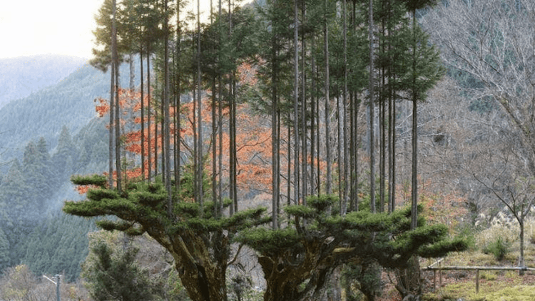 daisugi ancient japanese technique for growing trees out of trees