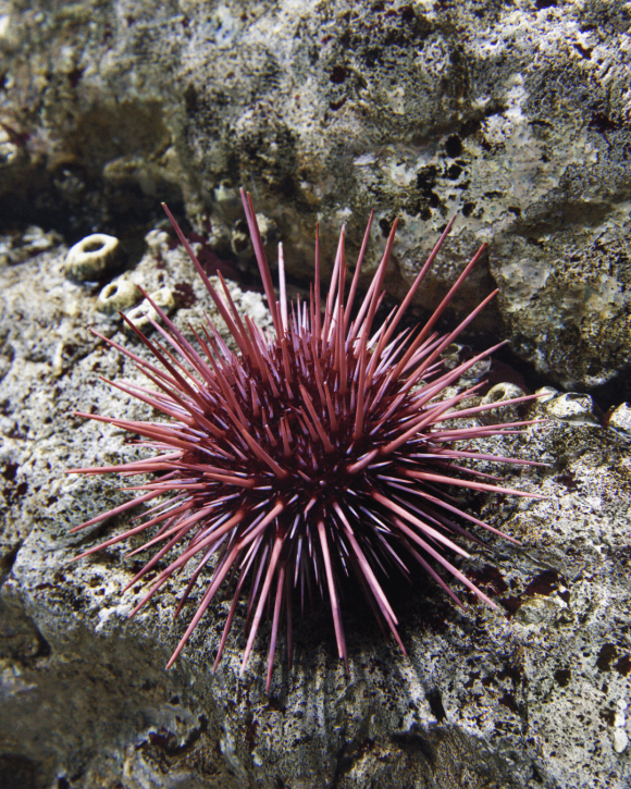 pink sea urchin teeth