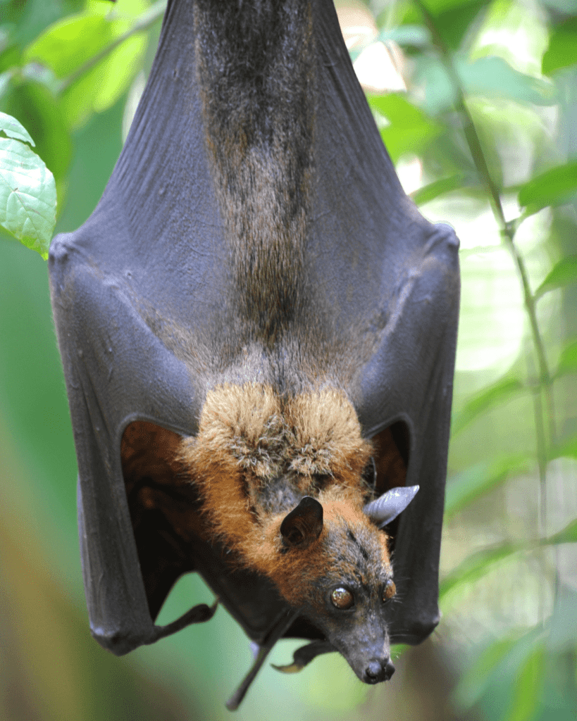 giant crowned flying fox