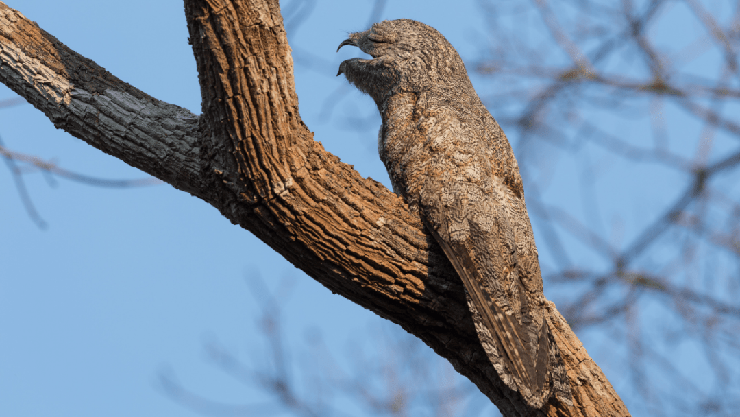 Potoo bird