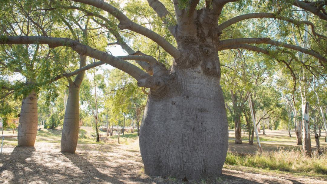 Queensland Bottle Tree