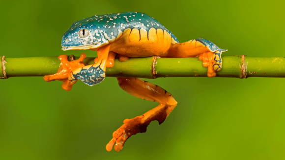 The Fringed Leaf Frog